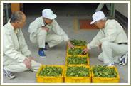 鮮やかな緑色の静岡県産碾茶